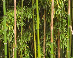 Photo of bamboo (Credit: Manfred Heyde)