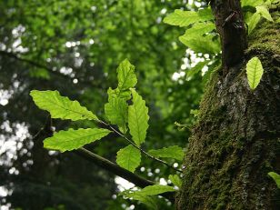 Photo of the chestnut-leaved oak. (Credit: Jean-Pol Grandmont)