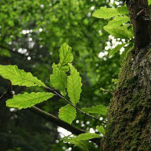 Photo of the chestnut-leaved oak. (Credit: Jean-Pol Grandmont)