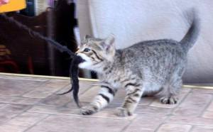 A kitten strains to hold a rope in its mouth.