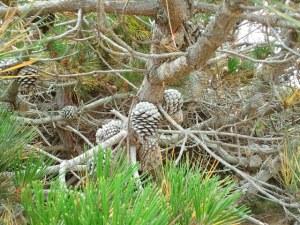 Close-up photo of pine tree cones