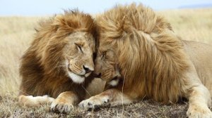 Photo: Two male lions lie next to each other. Their foreheads touch.